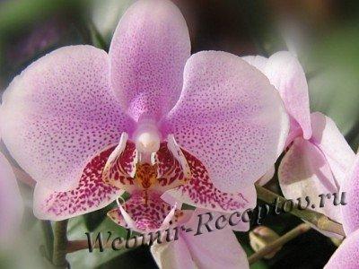Орхидеи. Советы по уходу